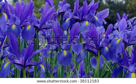 a purple iris garden in the spring - stock photo