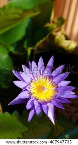 A purple lotus with green leaves in the water from top view - stock photo
