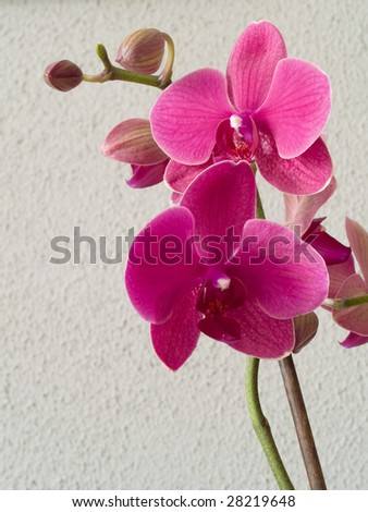 A purple orchid (phalaenopsis) on a gray background