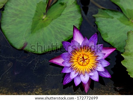 A purple waterlily flower blooming in a green oasis. Purple waterlily flower is scientifically known as Nymphaea Colorata.  - stock photo
