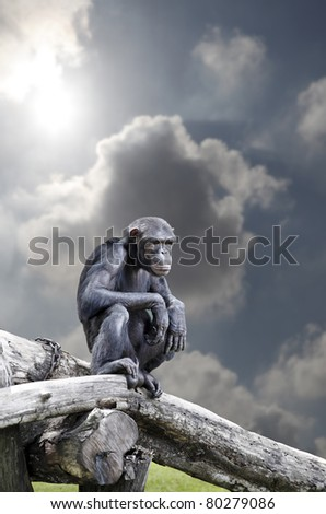 A pygmy chimpanzee also known as Pan paniscus, resting on a tree trunk against a surreal dramatic cloudy sky. - stock photo
