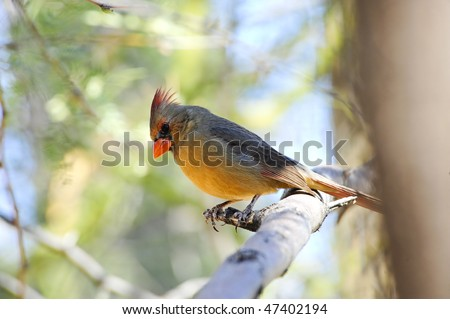 A pyrrhuloxia, relative of a Northern Cardinal perched on a branch - stock photo