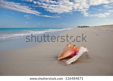 A Queen conch shell (Lobatus gigas) lays on a perfect white sand beach in the Turks & Caicos Islands.  This is a popular mollusk to eat.
