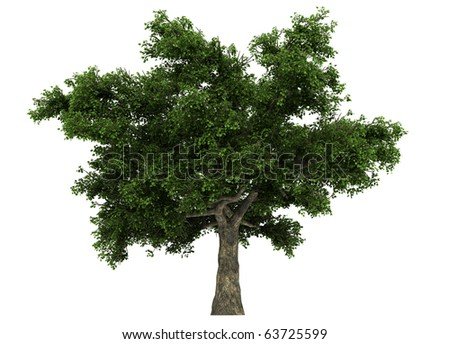 a quercus tree isolated on white
