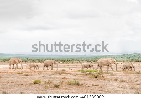 A queue of African elephants, Loxodonta africana, on their way to drink at a waterhole