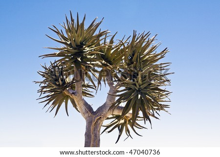A quiver tree Aloe dichotoma in the Northern Cape Province of South Africa - stock photo