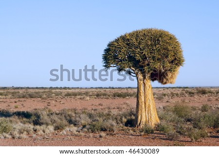 A quiver tree Aloe dichotoma in the vast expanse of the Northern Cape Province of South Africa near the town Pofadder in Namaqualand. - stock photo