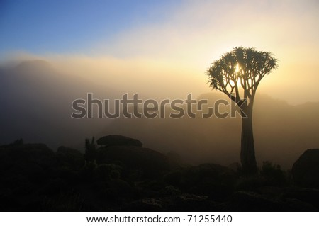 A quiver tree in the Northern Cape of South Africa - stock photo