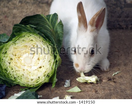 A Rabbit eating cabbage - stock photo