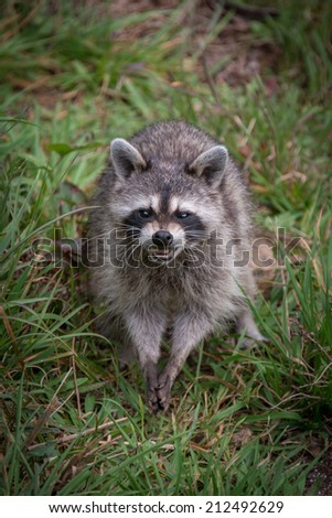 A raccoon looks at the camera and snarls as it finds food on the ground to eat. - stock photo