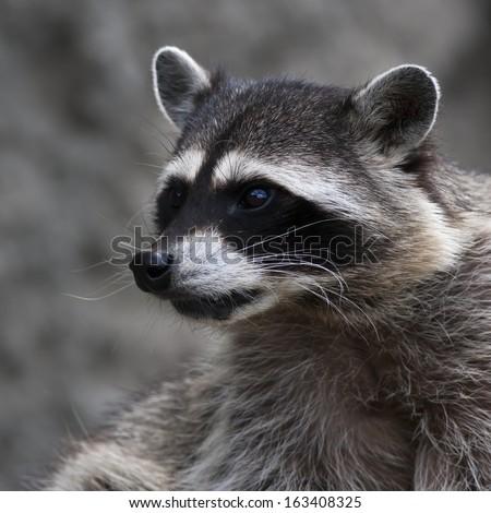 Arctic Fox Pink Tongue On Dark Stock Photo 129199385 ... Raccoon Face