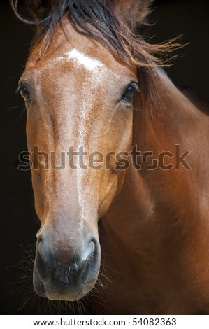 A racehorse portrait - stock photo