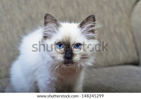 A rag doll kitten looking facing the camera - stock photo