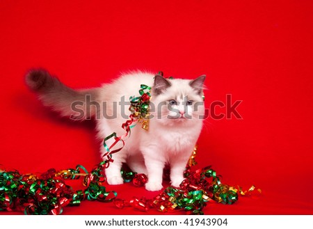 A ragdoll kitten with Christmas tinsel on red cloth background
