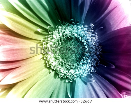 A rainbow daisy - stock photo