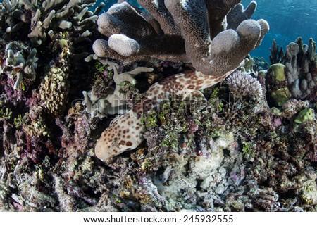 "A Raja epaulette shark ( Hemiscyllium freycineti) crawls across the bottom of a shallow coral reef in Raja Ampat, Indonesia. This endemic shark ""walks"" across the seafloor rather than swimming. - stock photo"