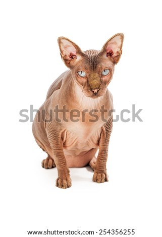 A rare breed hairless Sphynx cat sitting and looking straight into the camera - stock photo