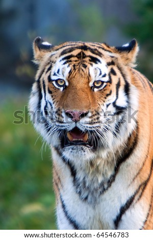 A rare endangered Siberian (Amur) Tiger resting. - stock photo