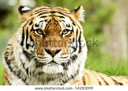 A rare endangered Siberian Tiger resting. - stock photo