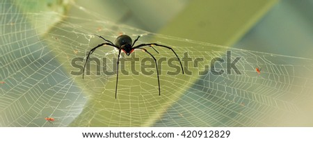A rare giant Golden silk orb-weavers (Nephila) spider male on a cobweb in the tropical north of Queensland, Australia - stock photo