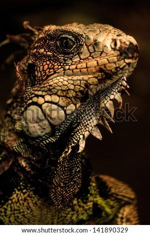A rare green iguana. Dramatic photo at a zoo. Ba�±os - Ecuador. Andes from Ecuador - stock photo