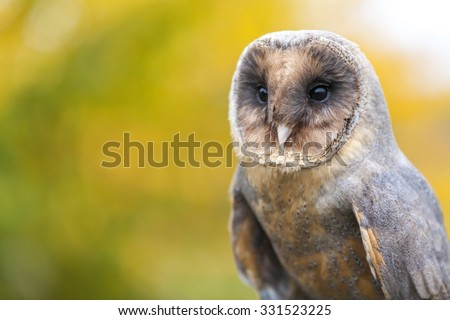 A rare Melanistic or Black Barn Owl in an Autumnal Fall forest - stock photo