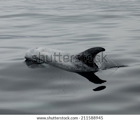 A rare Rizzos dolphin is barely below the waters surface - stock photo