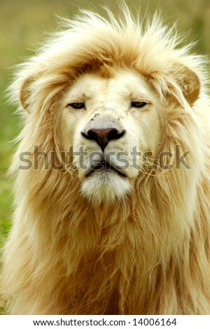 A rare white lion male head portrait watching other lions in a game park in South Africa - stock photo