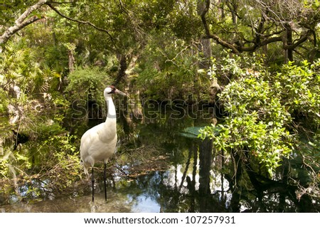 A rare whooping crane wading in Homosassa Wildlife Refuge, Florida.