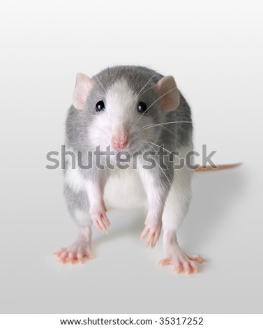 A rat is depressed about some sad news.