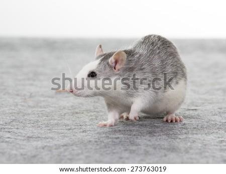 A rat portrait. Image taken in a studio. - stock photo
