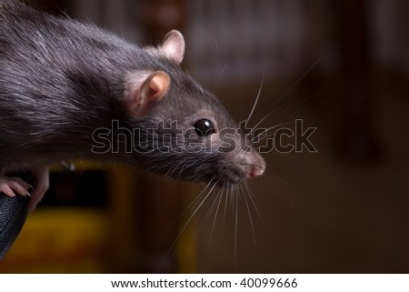 a rat searching for food