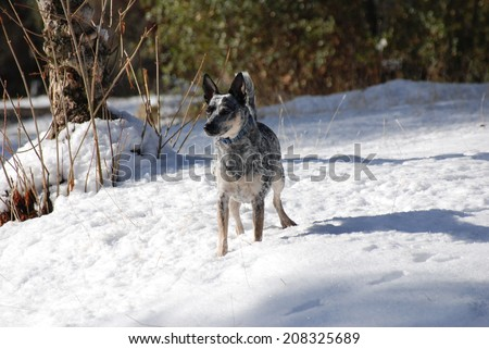 A Rat Terrier cross looks across the snow covered pasture on a cattle ranch in California. Her job is to keep the cows and calves away from the rancher's flower and vegetable gardens.  - stock photo