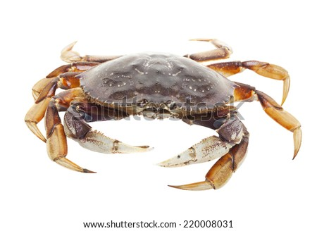 A raw live crab on a white background. - stock photo