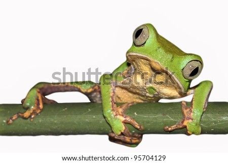 A Razor-backed Monkey Treefrog (Phyllomedusa vaillanti) in the Peruvian Amazon Isolated on white with space for text - stock photo