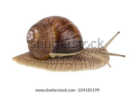 A real isolated  live spring snail macro high resolution studio shot.