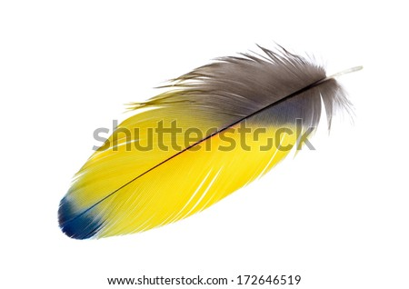 A Real MACAW bird Feather. Natural colors: Yellow, Blue. Isolated on white background.  - stock photo