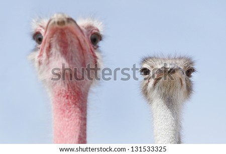 A red and a white face Ostrich - stock photo