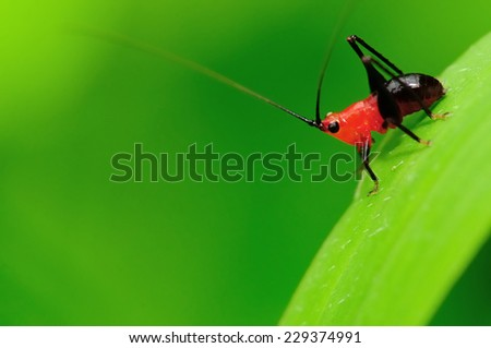 A red and black antennae very long Park cricket in bright green background - stock photo