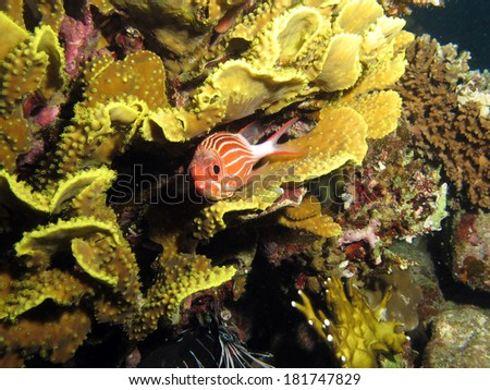 A red and white striped squirrelfish hides inside a yellow cup salad coral - stock photo