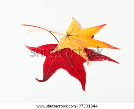A red and yellow maple leaves isolated on white. These leaves  are of Acer Truncatum species of maple found in Florida. - stock photo