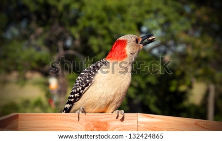 A red bellied woodpecker eats a sunflower seed. - stock photo