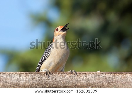 a red bellied woodpecker poses on the edge of a bird-feeder.   - stock photo