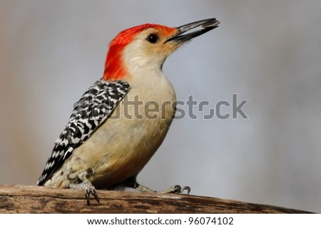 A Red Bellied Woodpecker that seems very happy with the see he just got from my feeder. - stock photo
