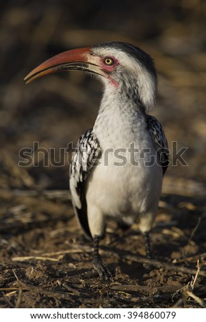 A red-billed hornbill (Tockus erythrorhynchus) forages on the ground on a winter's morning on South Africa's Mapungubwe National Park. - stock photo