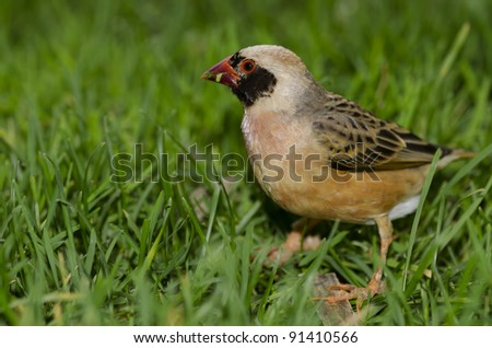 A Red Billed Quelea, native to sub-Saharan Africa. - stock photo