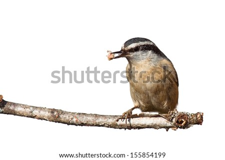 A red-breasted nuthatch sits on a birch branch with a beak full of suet. white background