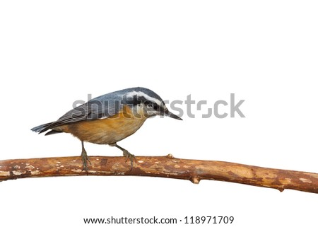 A red breasted nuthatch walks down  a branch. Its black mask and orange breast stand out against a white background