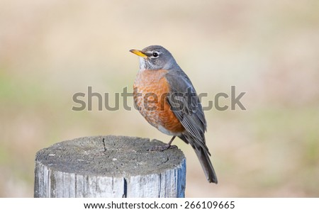 A red-breasted robin sitting on a post in early spring. - stock photo