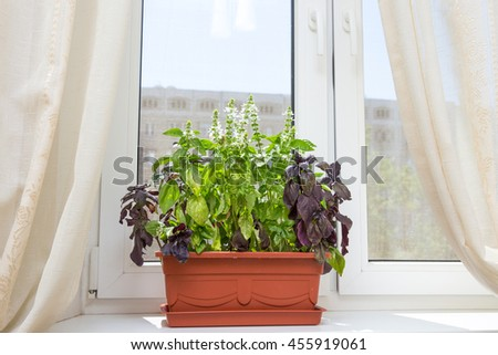 A red-brown flowerpot with basil on a windowsill. Everyone can easily grow basil himself at home and one would have fresh basil anytime. - stock photo